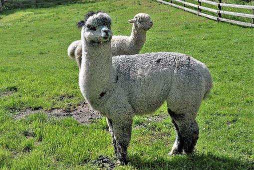 alpacas-3392792__340.jpg